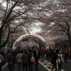 相模原市民桜まつりに行ってきたよ!